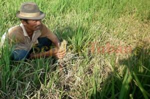 Slamet (43), petani di Desa Gaji Kecamatan Kerek dilahan tanaman padinya yang diserang hama Blas