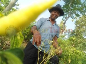 MERADANG : Petani di kawasan Kecamatan Kerek resah lantaran tanaman cabai diserang hama, serta harga jual menurun