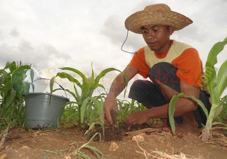 RESAH : Petani jagung di kawasan Kecamatan Jenu sedang menaburi tanamanya dengan pupuk kandang