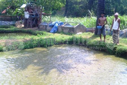 Budidaya Lele Tuban