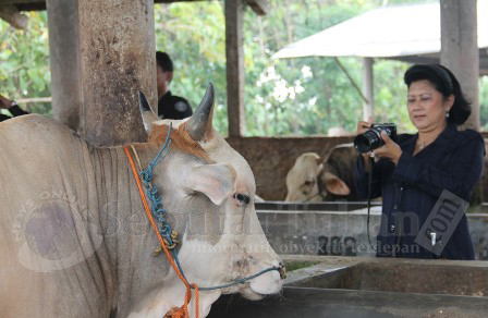 Ibu Ani foto Sapi Tuban