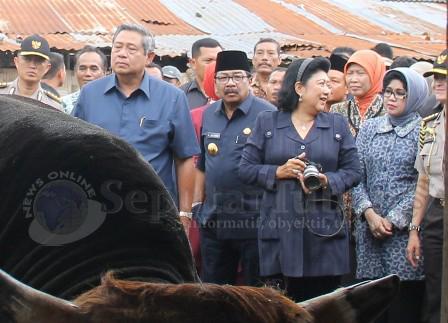 MAMPIR : Rombongan Presiden didampingi Pakde Karwo saat mengunjungi peternakan sapi