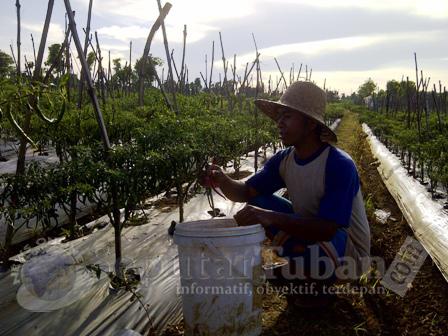 MERADANG : Petani cabai saat menamen tanamanya. Namun terancam merugi karena harga jual menurun