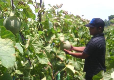 HARGA NAIK : Petani melon dikawasan Kecamatan Jenu, Kabupaten Tuban