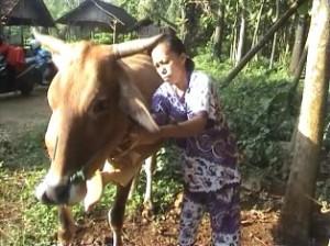 """ULTAH SAPI: Bagi sebagian warga Tuban, merayakan ulang tahun sapi adalah hal penting yang """"wajib"""" digelar setiap tahunnya."""