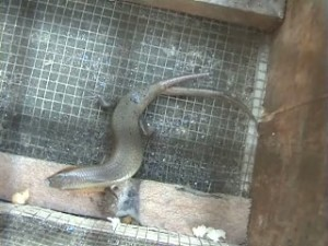 Mengherankan : Kadal ekornya bercabang ini sempat menghilang dari kandangnya dan kembali lagi