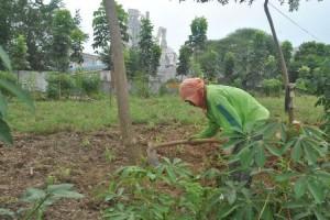 BERSYUKUR : Paisah (36) saat bercocok tanam dilahan green barrier PT Semen Indonesia