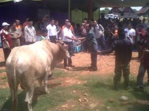 TANGGUNG JAWAB SOSIAL: Salah satu ternak sapi dari program CSR PT Holcim.