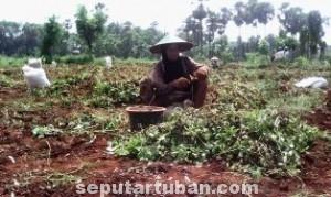 LAGI BERSAHABAT: Kusnadi dengan bersemangat memanen tanaman kacang miliknya di Desa Pucangan, Montong, Jumat (30/05/2014) siang.