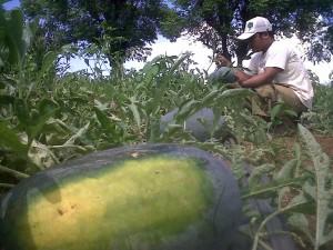 TAK SEBANDING: Banyak petani semangka yang harus merugi akibat harga yang tidak sepadan dengan biaya operasional yang telah dikeluarkan. Seperti yang dialami salah satu petani asal Kecamatan Bancar, Handoko.
