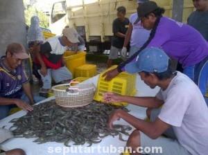 TURUN : Suasana panen budidaya udang vaname di kawasan Kecamatan Jenu