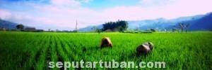 KESEIMBANGAN: Kabupaten Tuban sebagai sentra pertanian komitmen akan menjaga lahan produktif tidak dicaplok.