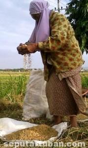 JATUH SENDIRI: Sadimah sedang menganginkan bulir padi yang diperoleh dari sisa panen.