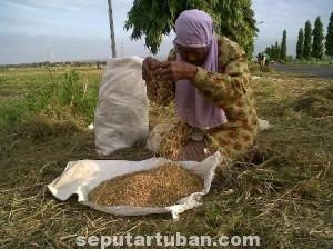 BERUSAHA TEGAR: Sadimah saat memilah batang padi sisa panen di areal persawahan Kecamatan Jenu, Rabu (23/07/2014) siang.