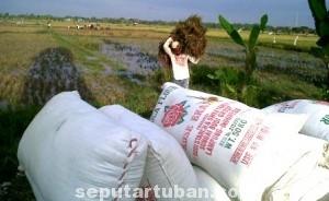 TAK BERSAHABAT: Sejumlah petani di Kabupaten Tuban mulai melakukan panen. Hanya saja hasilnya tak sesuai harapan.
