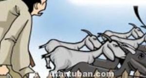 SASARAN EMPUK: Kali ini korbannya adalah Kartodini, petani sederhana yang tinggal di Dusun Jaten, Desa Guwoterus. Lima ekor kambing miliknya senilai Rp 5 juta lebih, Rabu (10/09/2014) dinihari raib digasak kawanan malin