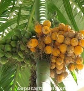 LANGKA: Kelompok masyarakat yang setiap momen 17 Agustus tiba menggelar lomba ini mulai kesulitan memperoleh batang pohon pinang.