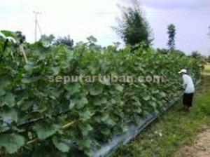 RESAH : Petani melon di kawasan Kecamatan Singgahan cemas. Karena tanaman melon diserang hama.