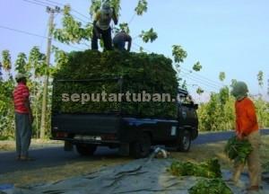 BERUNTUNG : Petani tembakau Desa Wanglu Wetan langsung menjual tembakaunya usai panen