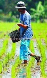 ATASI LANGKA: Tahun ini Pemkab Tuban menjamin kebutuhan pupuk bersubsidi untuk petani tercukupi. (foto: GETTY IMAGE)