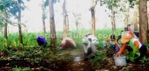 BERBURU ENTHUNG : Warga saat mencari kepompong di antara luruhan dedaunan jati Untuk dimasak maupun dijual di kawasan hutan Desa Guwoterus, Kecamatan Montong, Kamis (25/12/2014) pagi. foto: RHOFIK SUSYANTO