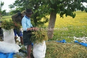 MERUGI BESAR : Petani Desa Bandungrejo, Kecamatan Plumpang memanen dini tanaman padinya karena terendam banjir sudah berhari-hari