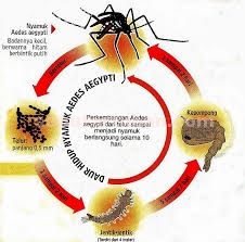 Siklus Aedes aeygepti