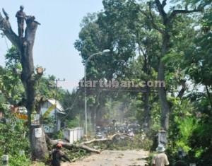 DIHIBAHKAN : Pekerja sedang menebang pohon poros jalan Kecamatan Montong yang dihibahkan kepada masyarakat