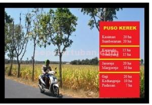 MERANGGAS: Inilah salah satu sudut tegalan dengan tanaman jagung yang dipastikan gagal  panen di Kecamatan Kerek, Kamis  Kamis (27/8/2015) pagi.