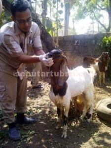 RADANG MATA: Seorang petugas kesehatan hewan tengah memeriksa seekor kambing yang akan  dijadikan qurban.