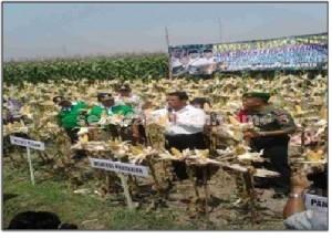 LINDUNGI PETANI: Menteri Pertanian Amran Sulaiman saat melakukan panen raya jagung varitas P 21 di Desa Sumber, Kecamatan Merakurak, Rabu (30/09/2015) pagi.