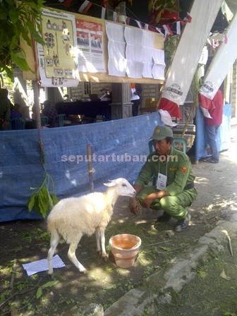 Kambing Pemilu : Inilah kambing yang menjadi hadiah utama di TPS 1 Desa Kradenan, Kecamatan Palang untuk menarik minat masyarakat menggunakan hak pilihnya dalam Pemilukada, Rabu (9/12/2015)