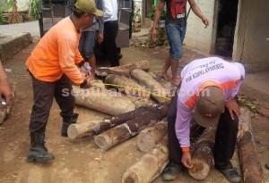 Bukti : Barang bukti kayu gelondongan milik tersangka usai diamankan petugas