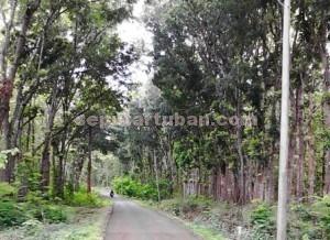 Rindang : Jalan menuju wisata Goa Putri Asih sisi kanan dan kiri masih dipenuhi hutan dan kondisi badan jalan masih baik.