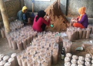 BERGELIAT : Sejumlah pekerja sedang melakukan pengepakan baglog untuk tempat budidaya jamur tiram