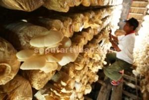 MENGUNTUNGKAN : Budiaya jamur tiram butuh keseriusan, ketelatenan untuk menuai kesuksesan