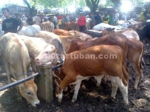 HARGA NAIK : Kondisi pasar sapi Jatirogo mulai ramai pembeli