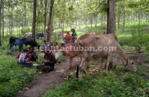 MENGELUH : Aktivitas warga korban banjir Parengan saat di lokasi pengungsian untuk hewan ternaknya