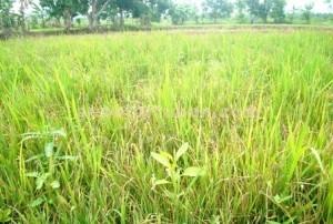 MERADANG : Kondisi tanaman padi petani Kecamatan Kerek diserang hama