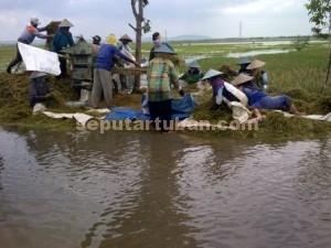 SEMANGAT : Para petani saat merontokkan hasil panen padinya