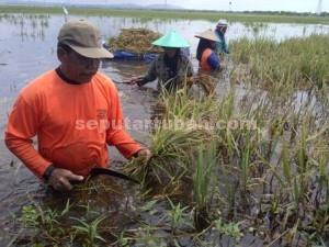 BERENDAM : Petani memanen dini padinya yang terendam agar tidak semakin rugi