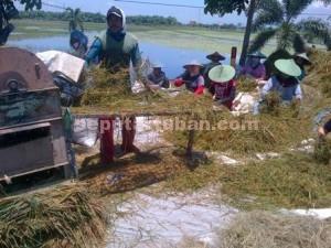 MERADANG : Petani Kecamatan Plumpang memanen dini tanaman padinya agar tidak semakin merugi