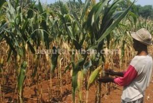 MERANA : Petani jagung menunjukkan tanamanya yang akan dipanen saat harga jual semakin menurun