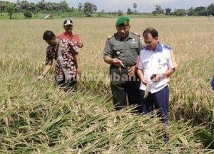 BLUSUKAN : Danramil Plumpang dan Kepala Bulog Divre III Bojonegoro saat meninjau tanaman padi petani Plumpang yang siap panen