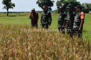 CEK LANGSUNG : Dandim 0811 Tuban, Letkol Inf. Sarwo Supriyo meninjau sawah petani