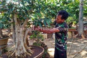BUTUH TELATEN : Zaenal arifin saat merawat tanaman bonsai yang sudah berumur