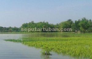 PETANI MERANA : Kondisi tanaman padi terendam terancam gagal panen